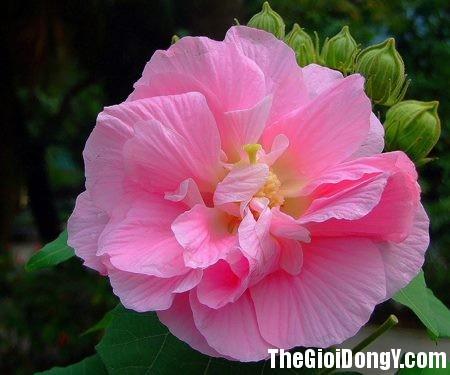 hoa phu dung Hoa phù dung chữa mụn nhọt lở loét