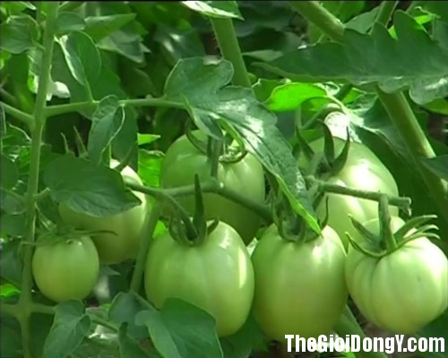 ca chua xanh Những loại rau củ không tốt cho sức khỏe