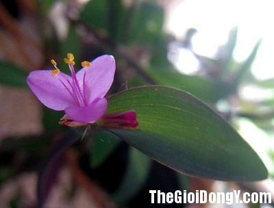 hoa so huyet cam mau Những bài thuốc cầm máu hiệu quả trong Đông y