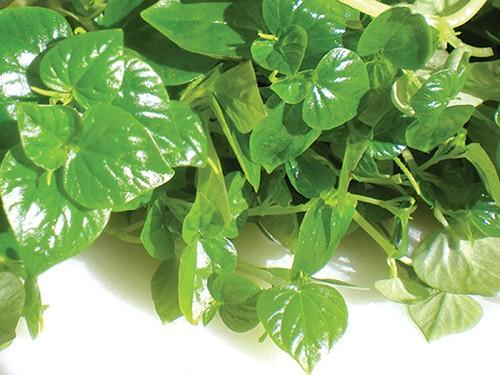 rau cang cua Cây thuốc quý chữa nhiều bệnh mang tên rau càng cua