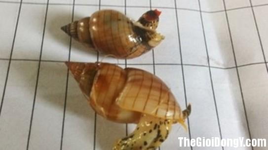 175025 Oc Tăng nguy cơ ngộ độc khi ăn ốc chưa chế biến kỹ