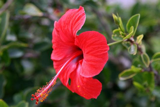 hoa dam but1 Loại cây dại trị dứt huyết áp cao không biết thật phí