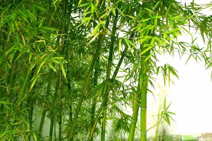 la tre1 0946 Bài thuốc cổ truyền thanh nhiệt, hạ sốt từ lá tre
