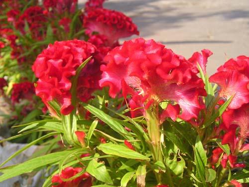 hoa mao ga Chữa bệnh phụ nữ với hoa mào gà