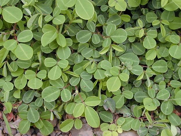 image002 7 Điều trị sỏi tiết niệu hiệu quả với bài thuốc từ cỏ hàn the