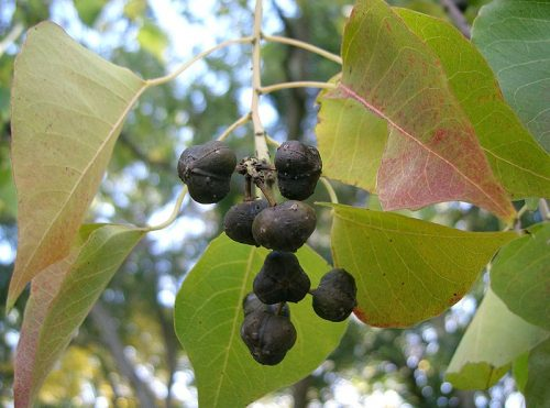 soi e1520645411619 Khám phá những công dụng chữa bệnh từ cây Sòi