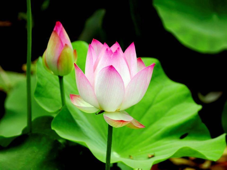 tac dung cua hoa sen 16 tác dụng chữa bệnh tuyệt vời từ lá sen tươi