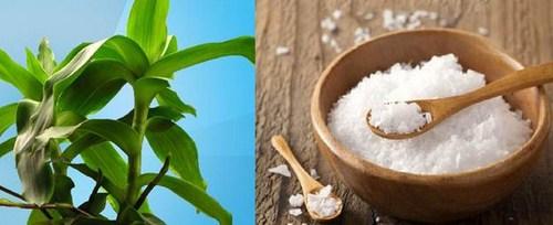 cay luoc vang chua benh viem nha chu hieu qua 3 Chữa Amidan đơn giản với bài thuốc cây lược vàng