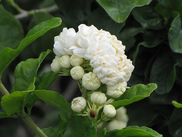 chua mat ngu an than bang hoa nhai1 Chữa bệnh dễ dàng với các bài thuốc từ cây hoa nhài