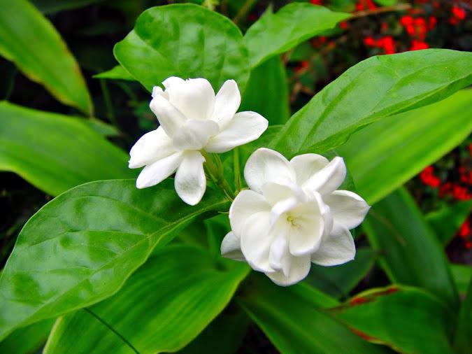 hoa nhai  Chữa bệnh dễ dàng với các bài thuốc từ cây hoa nhài