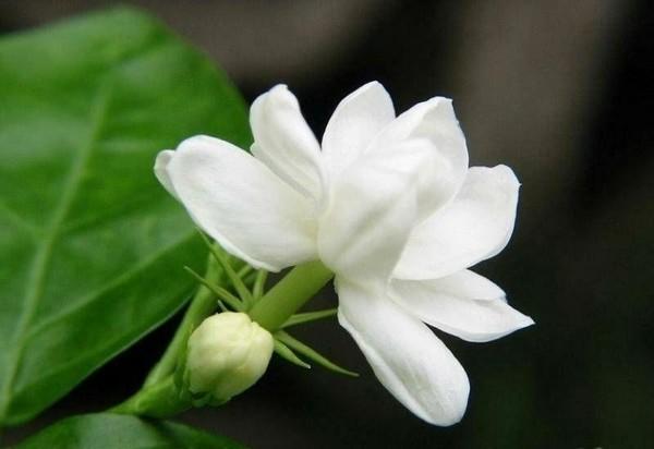 hoa nhai va nhung bai thuoc quy2 Chữa bệnh dễ dàng với các bài thuốc từ cây hoa nhài