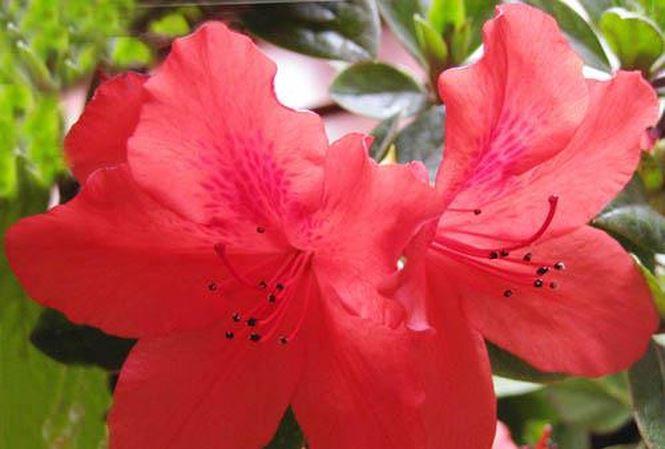 hoa do quyen do chua benh cuu nguoi 24142329 ksgt Liệu pháp chữa bệnh độc đáo cho chứng đau đầu