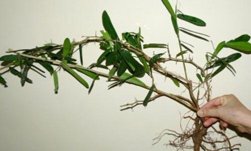 9723d2cf862ea8e621537cb01b07bcd7 6 loại thảo dược chữa ung thư ở Việt Nam, bạn có biết?