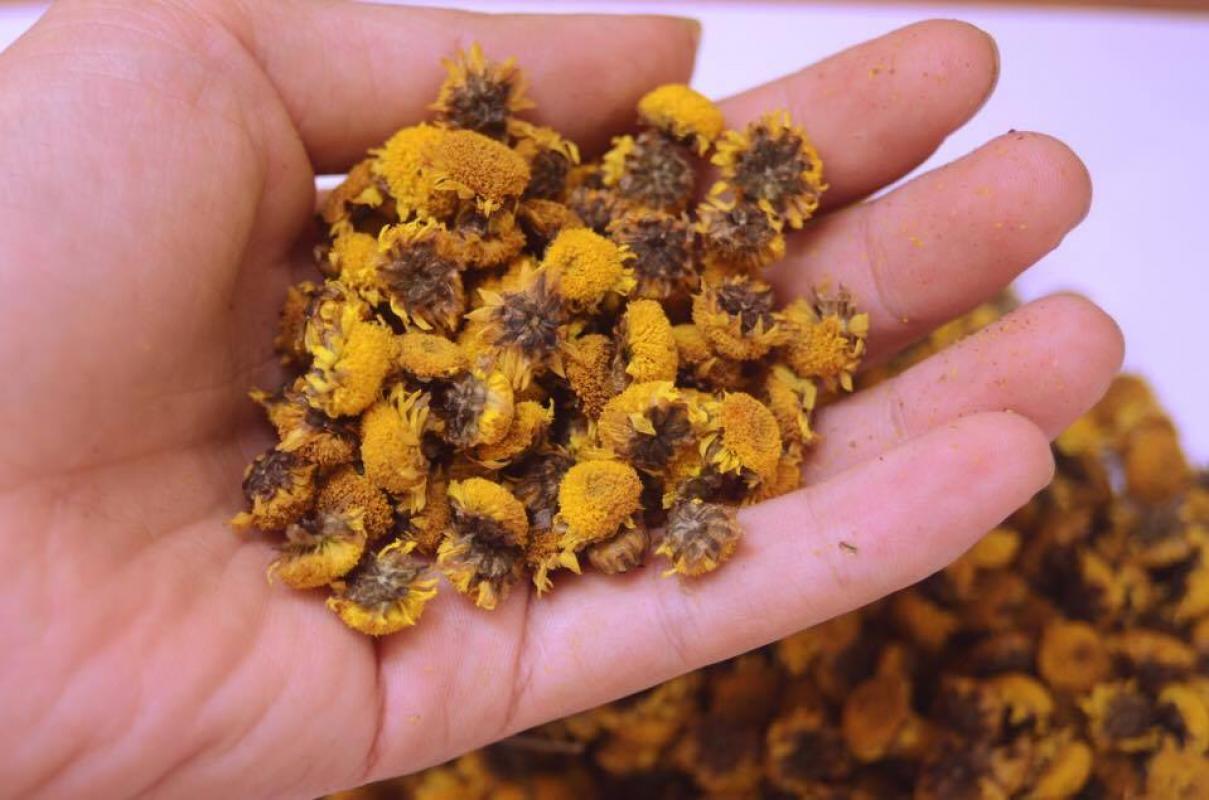 cúc hoa Tang cúc ẩm và bài thuốc hay