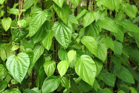 bai thuoc tri hoi nach hieu qua tu la lot Bị bệnh đổ mồ hôi tay chân nên trồng ngay lá lốt trong vườn
