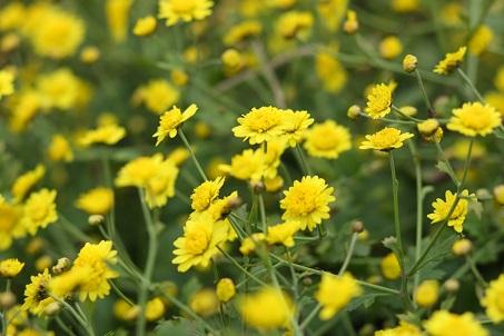 chua tang huyet ap bang hoa suc khoe doi song 1 15 bài thuốc Đông y giúp hạ huyết áp từ hoa